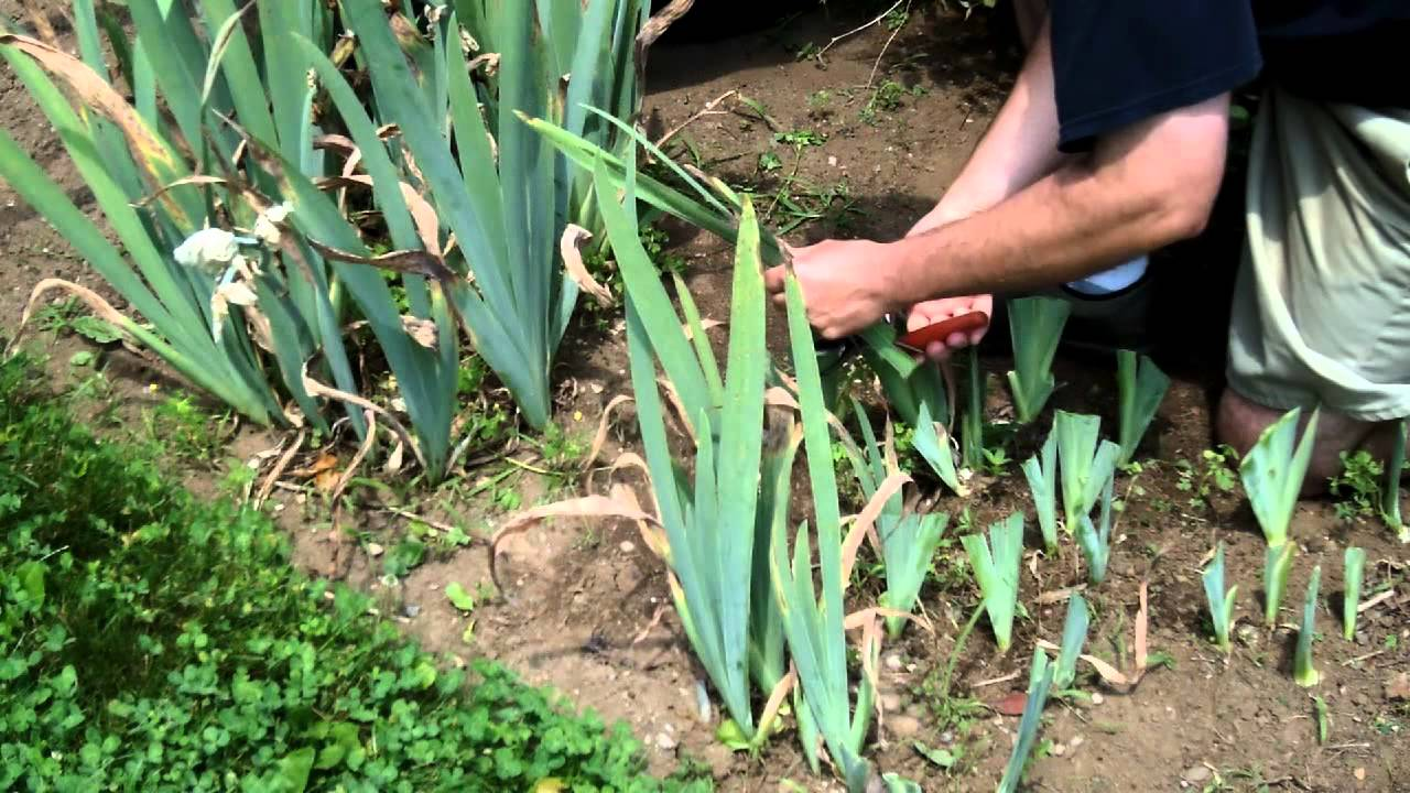 German or bearded iris maintenance and care youtube izmirmasajfo