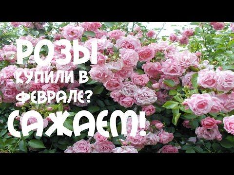 Розы. Купили в феврале? Посадка вьющейся, плетистой #розы.