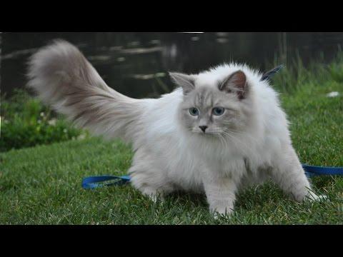 🐾 Самые красивые кошки в мире – самые красивые и милые породы кошек и котов
