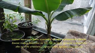 видео Банан Musa paradisiaca