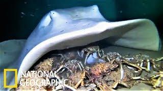 魟魚的螃蟹「個人獨享餐」《國家地理》雜誌