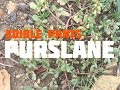 Medicinal, Edible and Useful Plants of the Southwest: Purslane (Part 3)