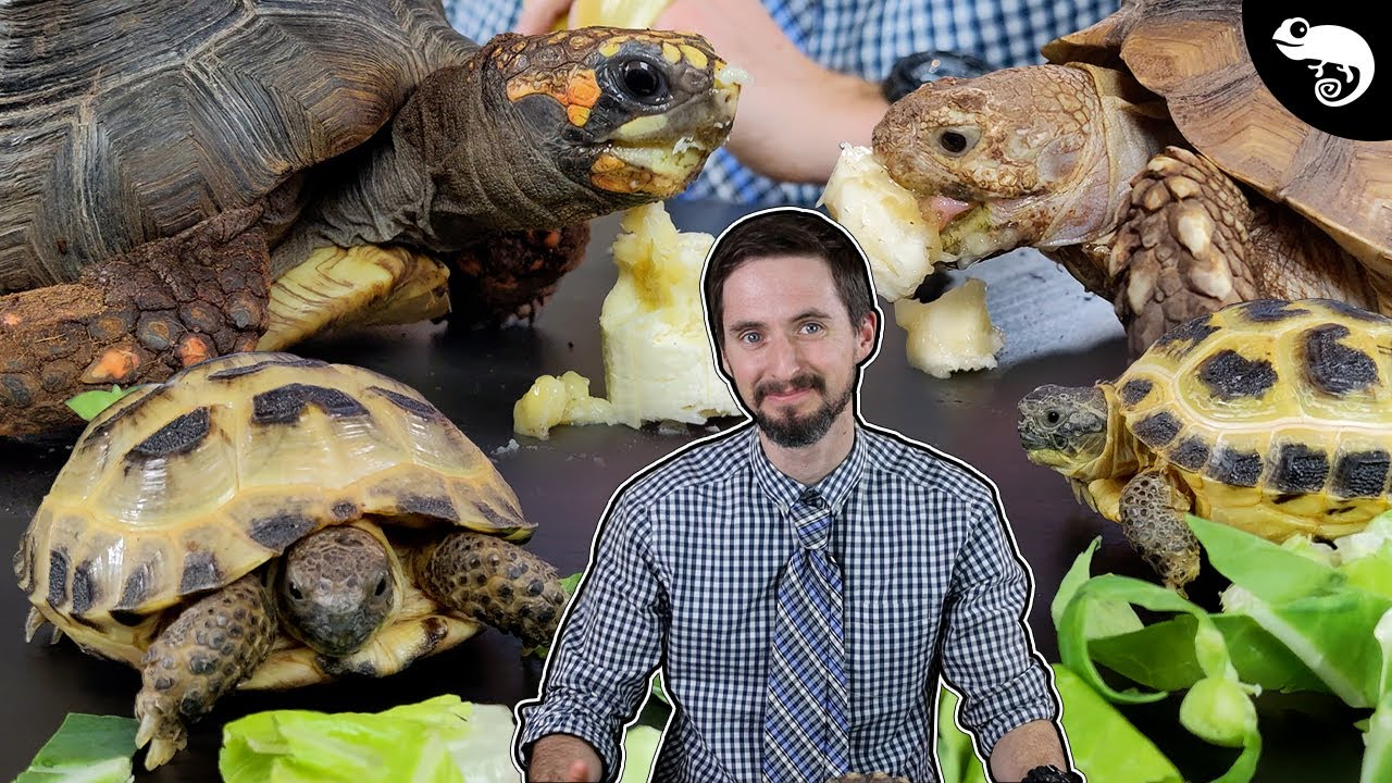 Download Why Tortoises Are The Best Pet Reptiles