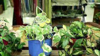 видео Растение коммелина: посадка и уход