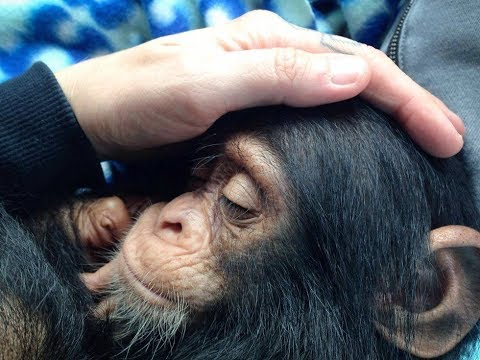 Saddest Baby Chimp Was About To Give Up On Life, Then A Miracle Happens