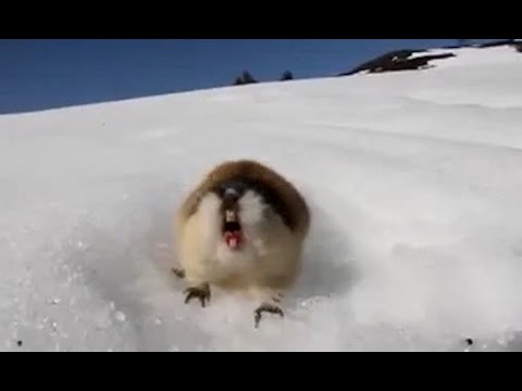 Angry Norwegian lemmings are the bravest of them all