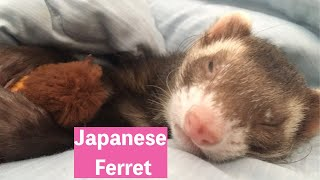 Japanese funny ferret cute ferret moves