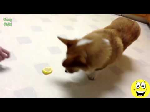 Funny Cats and Dogs vs Lemons   Best Funny Videos1
