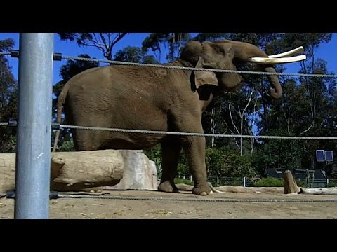 Yawning elephants caught on camera