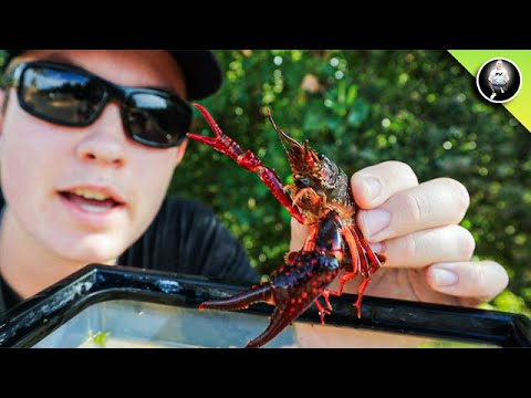 CREEK Crayfish HUNT! - We Caught WHAT??