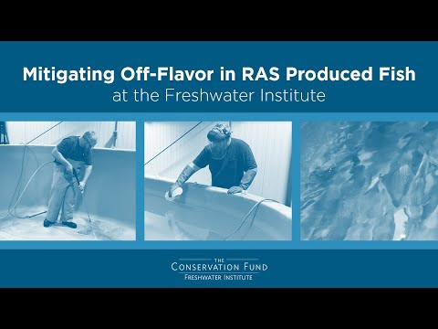 Mitigating Off-Flavor In RAS-Produced Fish At The Freshwater Institute