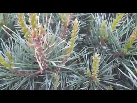 Removing Sawfly Larvae from Ornamental Pines