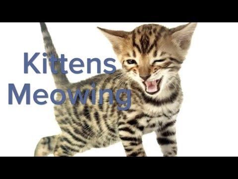 NEW   Kittens Meowing   Supper cute kitten sounds