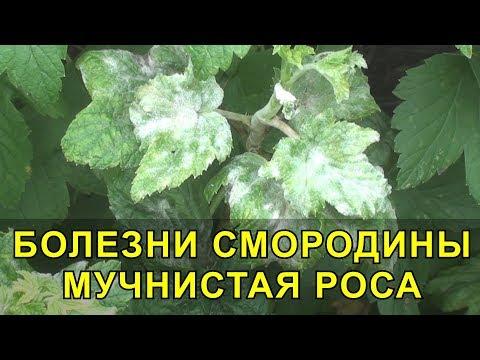 Черная смородина болеет на листьях белый налет