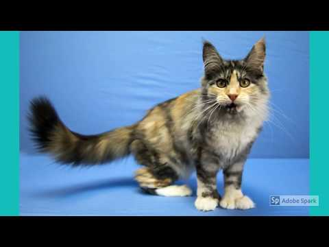 United Maine Coon Cat Association Cat Show