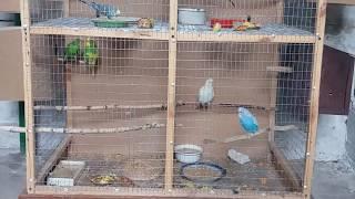 Размножение попугаев, кладка яиц, птенцы