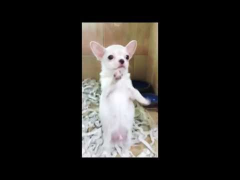 chihuahua dancing salsa little dog big bone white chihuahua doovi 7076