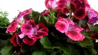 Мои растения, обзор.Королевская пеларгония, адениум, плюмерия, кактусы. Грунт Лечуза. Весна 2017.