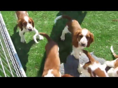 Jade´s litter of Welsh Springer Spaniel puppies