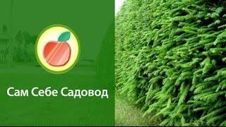видео Живая изгородь из сосны обыкновенной
