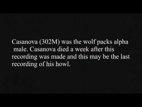 Casanova Wolf Howl at Yellowstone
