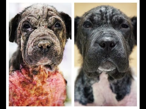Dog rescued from hell, her skin was burning ... AMAZING 24 DAYS LATER LOOK AT HER NOW !