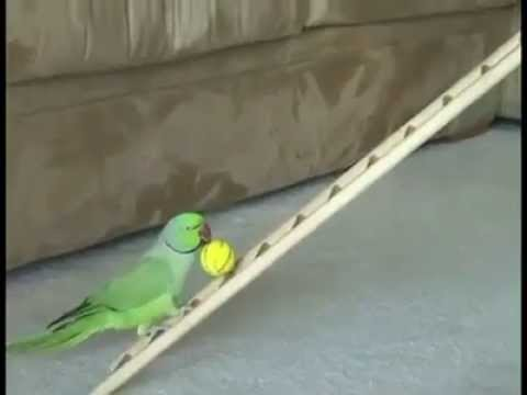 Amazing Trained Parrot