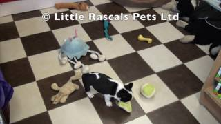 Little Rascals Uk Breeders New Litter Of French Bulldogs