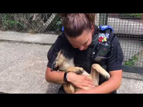Belgian Malinois Puppies to Train as Police Dogs