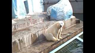 Смешные белые медведи(Новосибирский зоопарк., 2013-06-21T06:19:59.000Z)