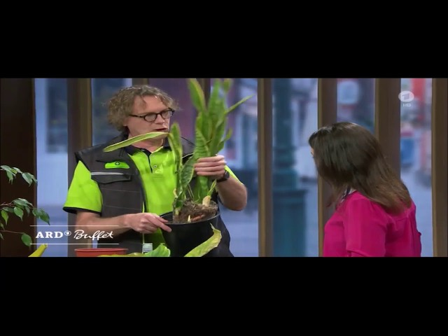 ARD-Buffet: Frühjahrskur für Zimmerpflanzen - Umtopfen für mehr Platz