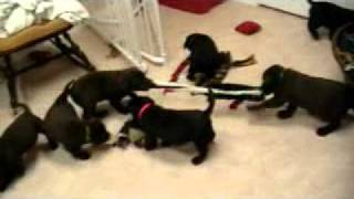Akc English Labrador Retriever Puppies For Sale