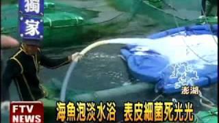 海魚泡淡水浴 表皮細菌死光光-民視新聞