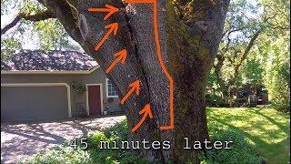 Big Black Oak Threatens Home