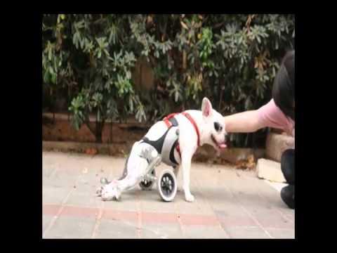 amigo dogs wheelchair by the designer nir shalom youtube