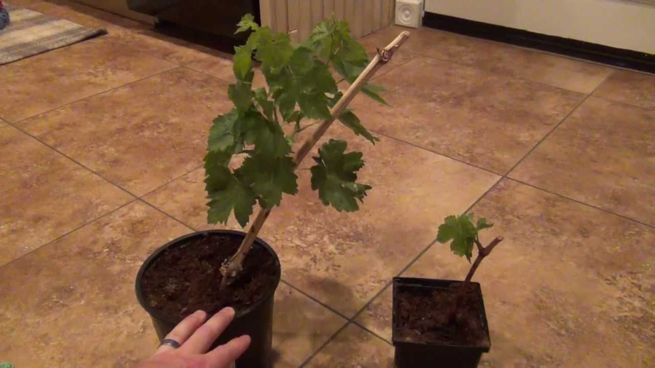 How To Grow A Grape Vine From A Cutting Update 2 Months After
