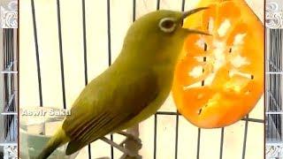 Burung Kacamata | Pleci Roll Tembak Gacor Buka Paruh Suara Keras