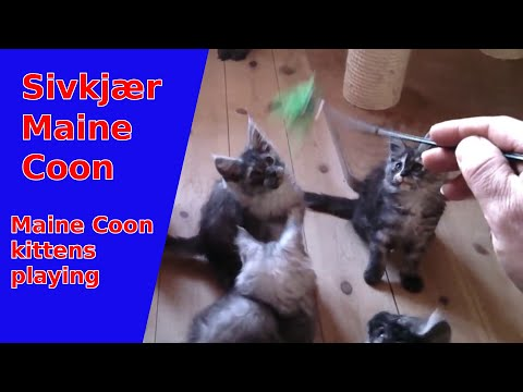 Playing Maine Coon kittens