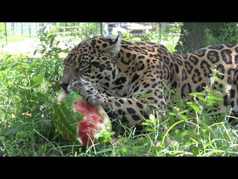 Big Cats VS Melons