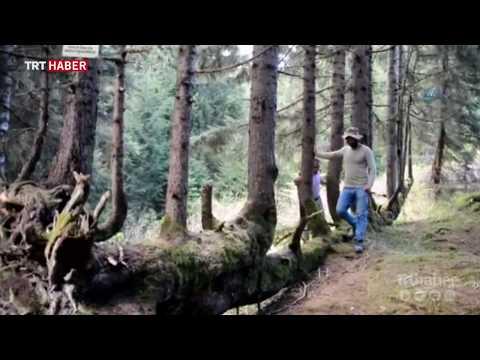 1 gövdede 18 ağaç