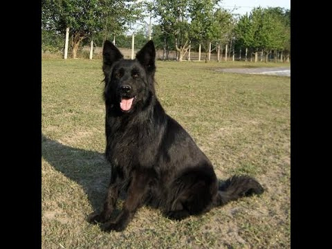 Apr 2019: Black German Shepherd Puppies in India (Heavy Double Coat): Tips, Dog Maintenance & Health