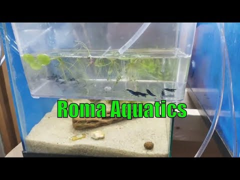 Moving Royal Blue Tiger Shrimp - Driftwood & Almond Leaves Unboxing