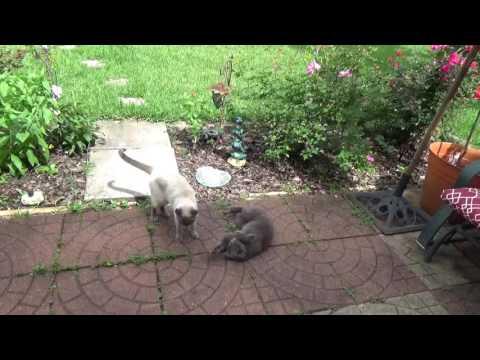Cat Girls Fight - Siamese vs Russian Blue