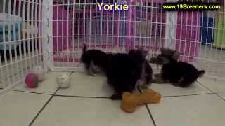 Yorkshire Terrier, Puppies, For, Sale, In, Albuquerque, New Mexico, Nm, Gallup, Carlsbad, Alamogordo