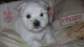 Westie Puppies Atlanta Ga Snowesti