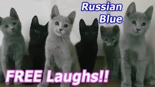 FREE LAUGHS! Cute kittens funny RUSSIAN BLUE cat breeds Compilation Video LOL pets Super Hilarious!