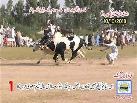 Bul Race In Pakistan Sunny Video Fateh Jang 10 10 2018 ..NO1