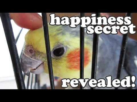 Cockatiel Talking Birds Sounds - Cockatiels Noises Bird Singing - Home Pets Animal Videos - Jazevox
