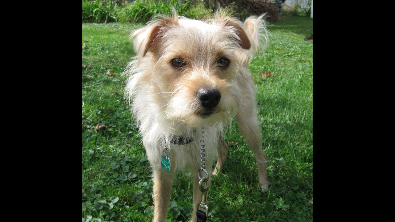 tramp- wire haired terrier mix