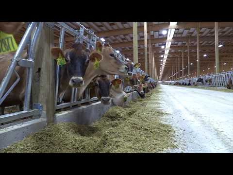 Dollymount Dairy   Welcoming Home the Cows   Part 2